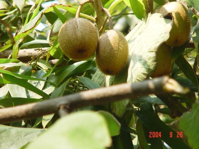 长在树上的水果
