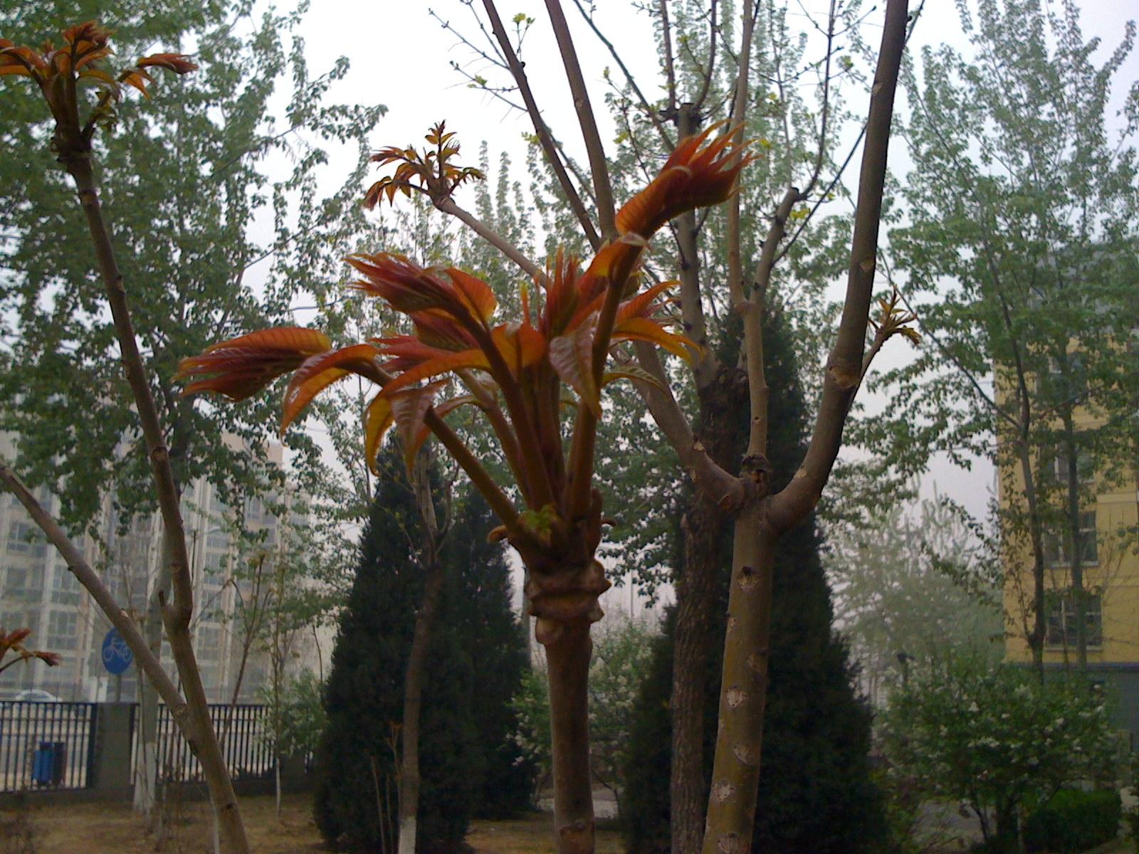椿芽树木板图片